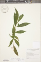 Cestrum racemosum image