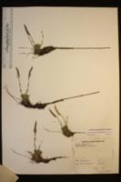 Boechera pygmaea image