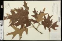 Image of Quercus pagodifolia