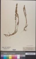 Image of Artemisia austriaca