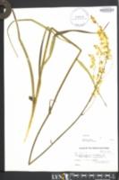 Image of Melanthium virginicum