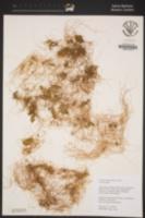 Cuscuta californica image