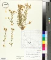 Perityle angustifolia image