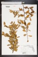 Bumelia tenax image