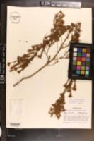 Image of Hypericum fasciculatum