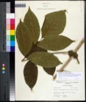 Image of Markhamia lutea