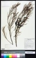 Image of Acacia calamifolia