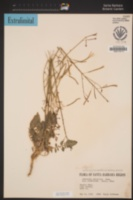 Chylismia walkeri image