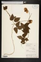 Phaseolus caracalla image