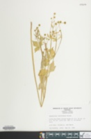 Image of Ranunculus recurvatus