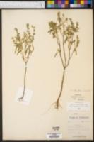 Salvia lanceaefolia image