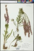 Liatris provincialis image