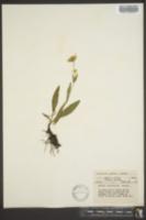 Image of Arnica lanceolata