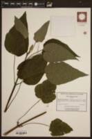 Image of Salvia madrensis