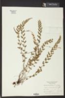 Image of Asplenium biscayneanum