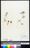 Image of Halophila engelmannii