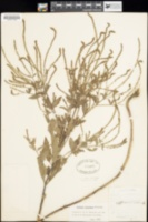 Image of Verbena perriana
