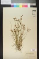 Image of Psilocarya scirpoides