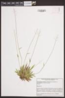 Dichanthelium strigosum var. leucoblepharis image