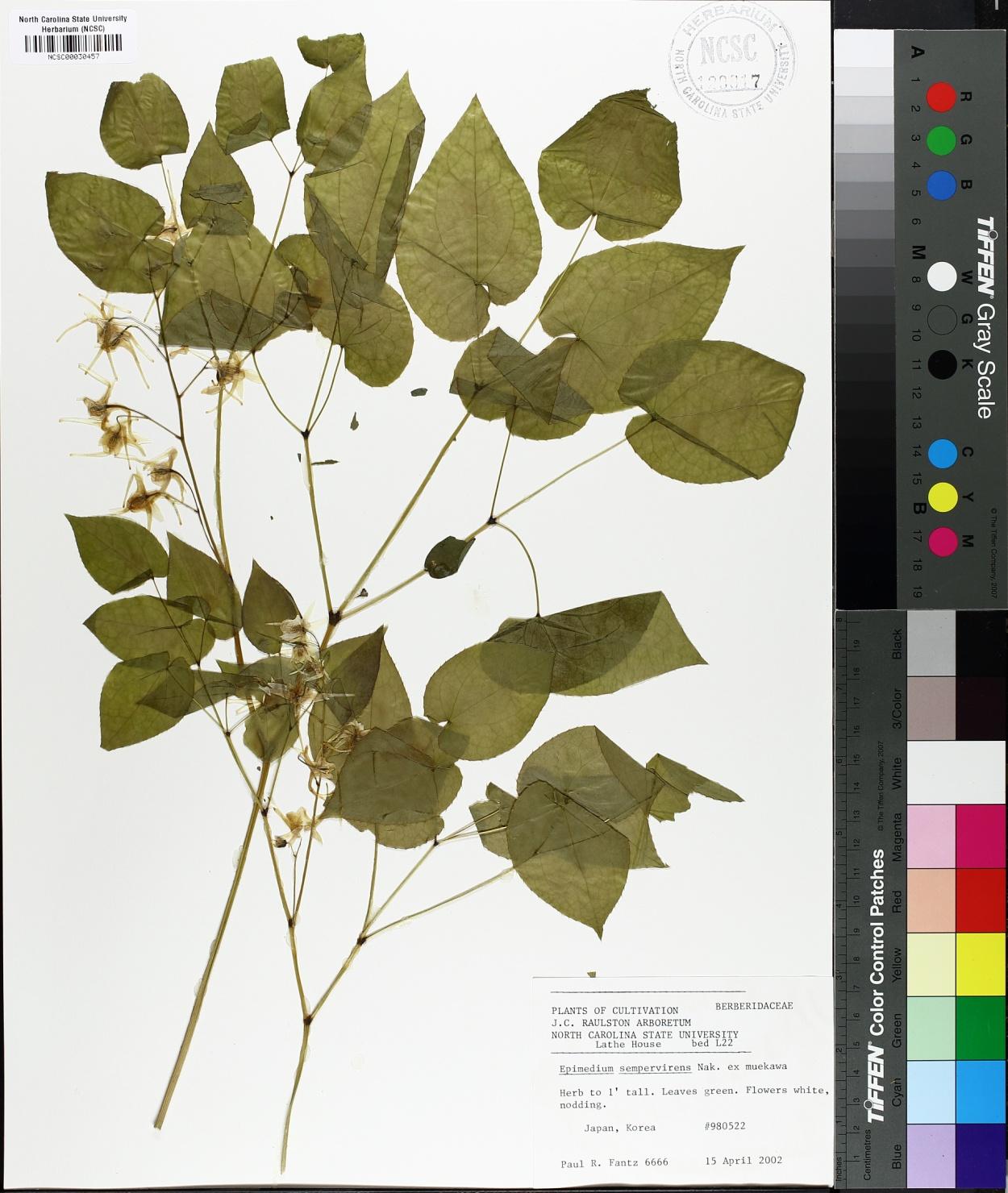 Epimedium sempervirens image