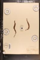 Image of Asplenium castaneum
