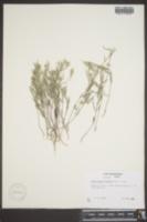 Heliotropium tenellum image