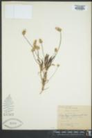Image of Plantago amplexicaulis