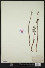 Corallorhiza maculata image