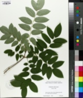 Cladrastis platycarpa image