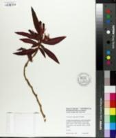 Image of Columnea elongatifolia