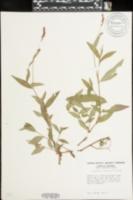 Polygonum caespitosum image