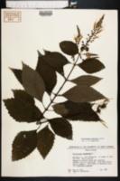 Collinsonia serotina image