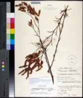 Image of Polygonum fimbriatum