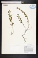 Image of Phyllanthus liebmannianus