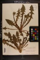 Image of Taraxacum canaliculatum