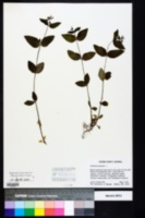 Houstonia purpurea image