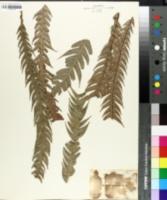 Image of Blechnum asplenioides