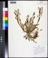 Leavenworthia alabamica image
