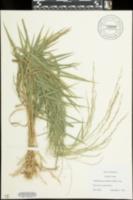 Muhlenbergia sobolifera image