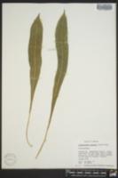Image of Campyloneurum costatum
