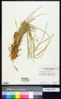 Glyceria declinata image