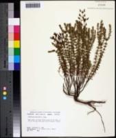 Image of Hypericum reductum