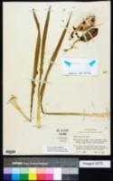 Image of Yucca necopina