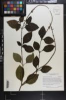 Image of Stachytarpheta urticifolia