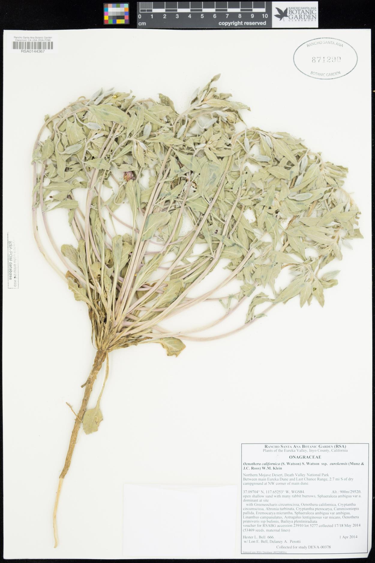 Oenothera californica subsp. eurekensis image