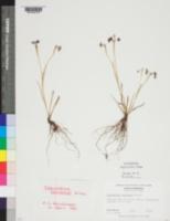 Image of Sisyrinchium rosulatum