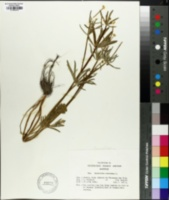Image of Ranunculus auricomus