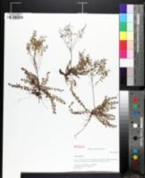 Image of Lechea racemulosa