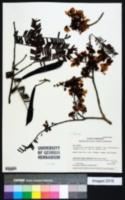 Image of Chamaecrista adiantifolia