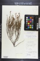 Hypericum galioides image